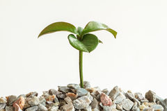 Seedling plant on the rock Royalty Free Stock Photo