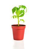 Seedling of  plant of young tomato in flowerpot is isolated Royalty Free Stock Photos