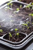 Seedling plants growing in germination plastic tray Royalty Free Stock Photos
