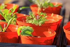 Seedling plants in pots Royalty Free Stock Photography
