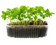 Seedling in plastic box stock photography