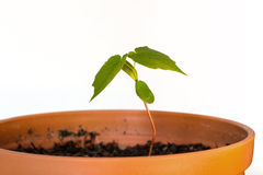 Seedling in a pot with soil Royalty Free Stock Photo