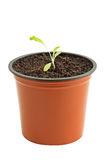 Seedling in pot. Young seedling of lettuce in pot isolated on white stock images