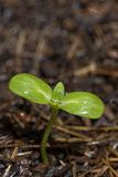 Seedling in rain Royalty Free Stock Photography