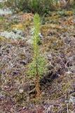 Seedling recentemente plantado da árvore de pinho Imagens de Stock