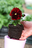 Seedling of red pansy Stock Photography