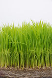 seedling rice Royalty Free Stock Photo