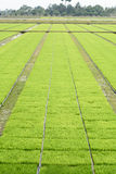 Seedling rice fields Stock Image