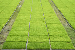 Seedling rice fields Stock Photography