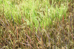 Seedling rice fields Royalty Free Stock Image