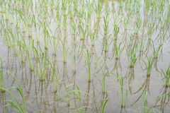 Seedling rice fields Stock Images
