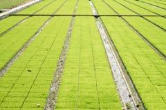 Seedling rice fields Stock Image