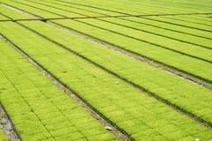 Seedling rice fields Royalty Free Stock Photo