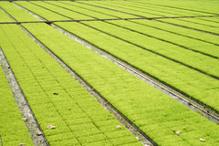 Seedling rice fields Royalty Free Stock Photography