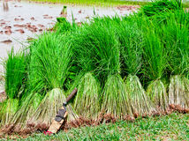 Seedling Rice Harvest Royalty Free Stock Photography
