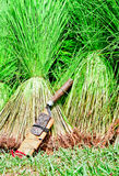 Seedling Rice Harvest. Rice seedlings harvested and awaiting transplantation into another field in Asia Stock Photo