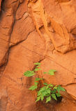 Seedling and Rock Wall Stock Photography