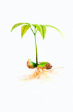 Seedling with roots Stock Photography