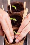 Seedling separation Stock Image