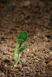 A seedling on soil. Young plant on soil just grown from the seed Royalty Free Stock Photos