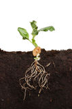 Seedling in soil Royalty Free Stock Photography