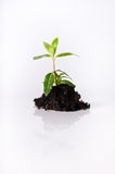 Seedling in Soil on White Royalty Free Stock Image