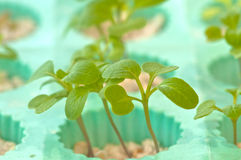 Seedling soilless or hydroponic. Sprout or seedling of soilless plants, hydroponic system royalty free stock images