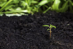 Seedling sprouting from the ground Royalty Free Stock Photography