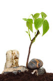 Seedling among stones Stock Image