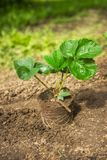 Seedling of strawberries in the garden before planting royalty free stock photography