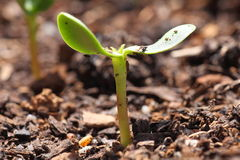 Seedling of sunflower Stock Photo