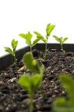 Seedling sweet peas Stock Images