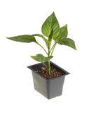 Seedling of a sweet pepper ready for transplanting. Single seedling of a bell pepper (Capsicum annuum) in a black plastic pot ready for transplanting into a home Stock Photos