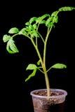 Seedling tomato on a black background Stock Image