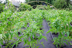 Seedling tomato, grown in large box on a Spunbond Nonwoven cover. Mulching. Grow boxes Stock Images