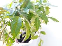 Seedling of Tomato Plants Isolated on White Background Royalty Free Stock Photography