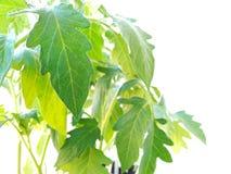 Seedling of Tomato Plants Isolated on White Background Royalty Free Stock Images