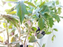 Seedling of Tomato Plants Isolated on White Background Stock Image