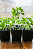 Seedling tomato in small pots that stand in the window.  Royalty Free Stock Photos
