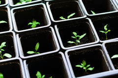 Seedling tomato in small pots which stand in a row. Seedling tomato in small pots which stand in a row, view from above Stock Photo