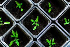 Seedling tomato in small pots which stand in a row. Seedling tomato in small pots which stand in a row, view from above Stock Images