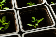 Seedling tomato in small pots which stand in a row. Seedling tomato in small pots which stand in a row, view from above Royalty Free Stock Images