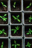 Seedling tomato in small pots which stand in a row. Seedling tomato in small pots which stand in a row, view from above Royalty Free Stock Photo