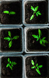 Seedling tomato in small pots which stand in a row. Seedling tomato in small pots which stand in a row, view from above Royalty Free Stock Photography