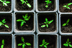 Seedling tomato in small pots which stand in a row. Seedling tomato in small pots which stand in a row, view from above Royalty Free Stock Photos