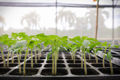Seedling tomato in tray for sprout in greenhouse. Stock Photos