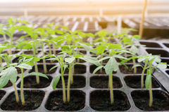 Seedling tomato in tray for sprout in greenhouse. Stock Photo