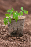 Seedling of tomatoes Stock Images