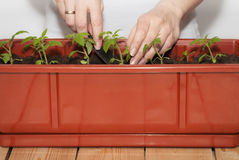 Seedling of tomatoes in pots Stock Photo