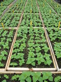 Seedling trays. Trays of tiny green seedlings in a greenhouse Stock Photo